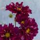 COPIOUS COSMOS – Make your summertime garden sing
