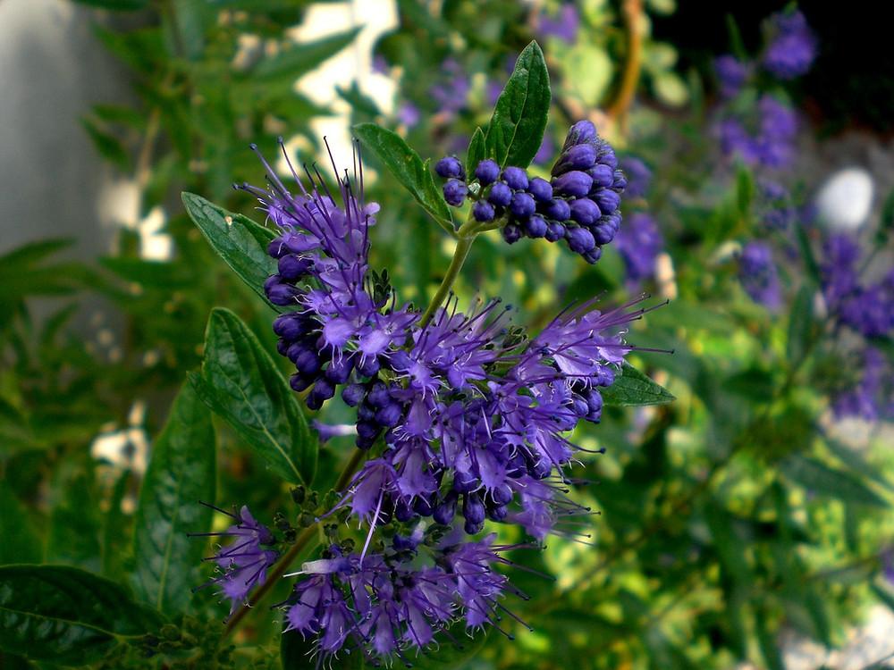 Bartblumen blau blühend