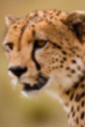 Cheetah in Africa Photo