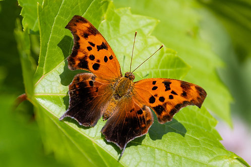 Question Mark Butterfly | Question Mark Butterfly Resting on a Leaf | Butterfly Photo Print | Tammy Riegel Photography