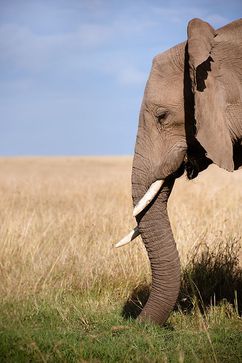 Grazing Elephant | Elephant in the Serengeti Tanzania | Elephant Photo Print | Tammy Riegel Photography