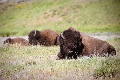 Lounging Bison | Three American Bison in Yellowstone National Park | Buffalo Photo Print | Tammy Riegel Photography