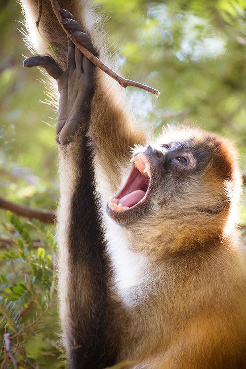 Spider Monkey | Spider Monkey Climbing a Tree | Monkey Photo Print | Tammy Riegel Photography