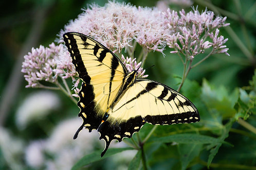 Yellow Beauty | Eastern Tiger Swallowtail on Pink Milkweed | Butterfly Photo Print | Tammy Riegel Photography