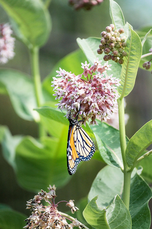Peaceful Butterfly | Monarch butterfly on pink milkweed flowers | Butterfly Photo Print | Tammy Riegel Photography