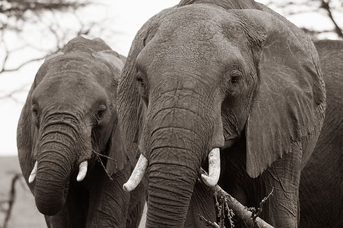 African Elephants | Black and white photo of African elephants | Elephant Photo Print | Tammy Riegel Photography