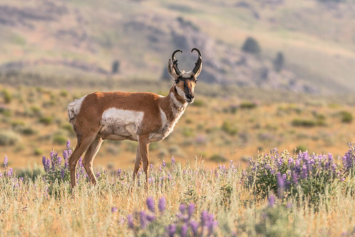 The Pronghorn | Pronghorn in Yellowstone National Park | Wildlife Wall Art | Tammy Riegel Photography
