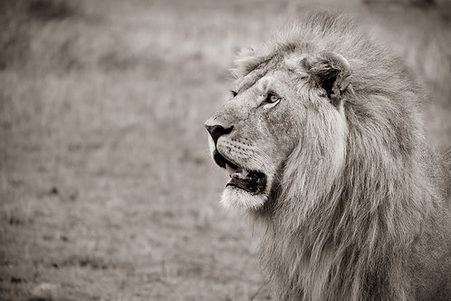 Majestic Lion | Black and White Headshot of a male lion in the Serengeti | Lion Photography Print | Tammy Riegel Photography