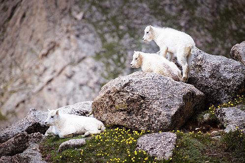 Three Goats | Three baby goats on Mount Evans in Colorado | Wildlife Photo Print | Tammy Riegel Photography