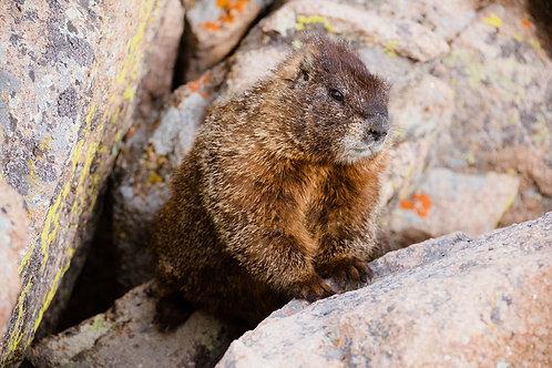 Peeping Marmot | Marmot in Rocky Mountain National Park | Wildlife Photo Print | Tammy Riegel Photography