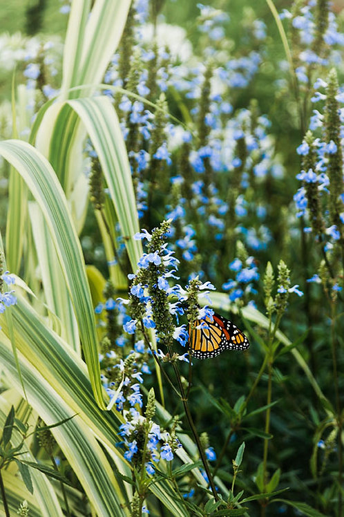 Butterfly in the Park | Monarch Butterfly on Blue Flowers | Flower Wall Art | Tammy Riegel Photography