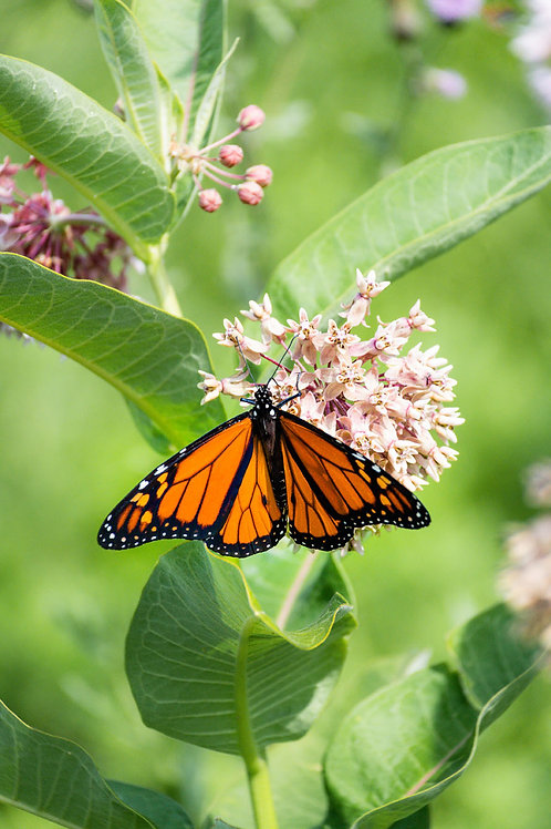 Butterfly Kisses | Monarch Butterfly on Pink Flowers | Butterfly Photo Print | Tammy Riegel Photography