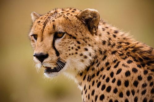 The Cheetah | Headshot of a Cheetah | Cheetah Photo Print | Tammy Riegel Photography