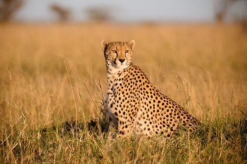 Cheetah Glare | Cheetah Photo Print | Tammy Riegel Photography