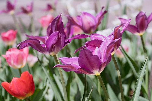 Spring Tulips | Purple Tulips Photography Print | Flower Photo Print | Tammy Riegel Photography
