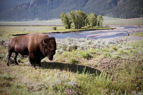 Home on the Range | American Bison in Yellowstone National Park | Buffalo Photography Print | Tammy Riegel Photography