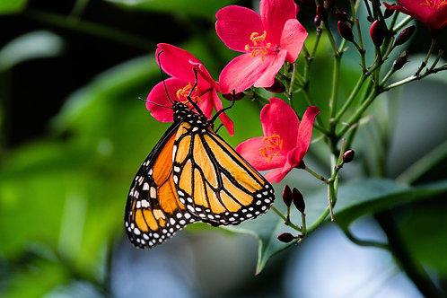 Summer Beauty | Monarch Butterfly on Red Flowers | Butterfly Photo Print | Tammy Riegel Photography