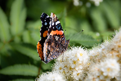 Red Admiral | Red Admiral Butterfly on White Flowers | Butterfly Photo Print | Tammy Riegel Photography