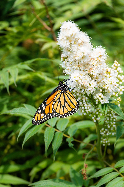Monarch | Monarch Butterfly on White Flowers | Butterfly Photo Print | Tammy Riegel Photography