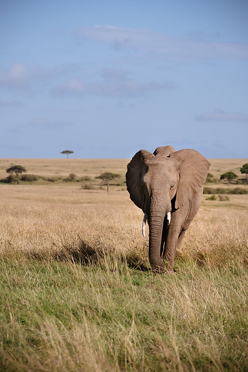 Marching Elephant | African elephant walking in the Serengeti | Elephant Photo Print | Tammy Riegel Photography