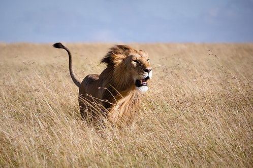 A Lion in the Wind | A Male Lion in a Field in Kenya | Lion Photography Print | Tammy Riegel Photography