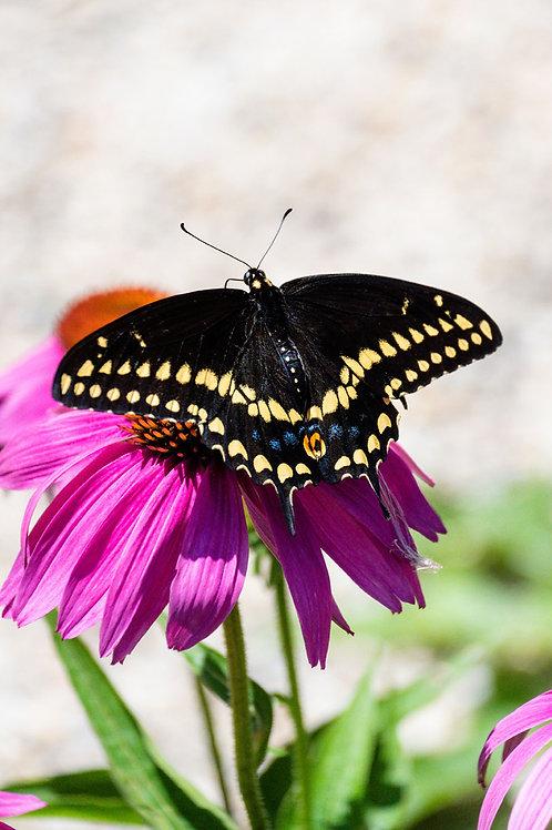 Resting Butterfly | Black Swallowtail Butterfly on Purple Flower | Butterfly Photo Print | Tammy Riegel Photography