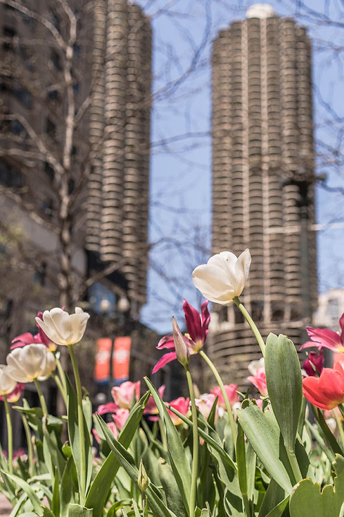 Spring Tulips Blooming near Marina Towers in Chicago | Chicago Photography
