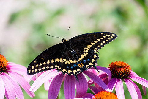 Swallowtail Beauty | Black Swallowtail Butterfly on a Purple Flower | Butterfly Photography Print | Tammy Riegel Photography