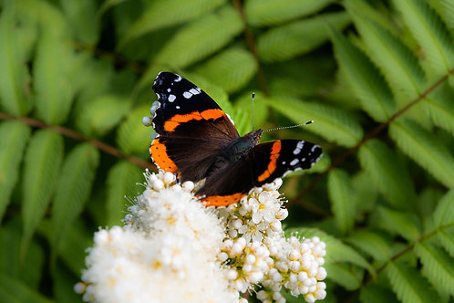 Pretty Butterfly | Red Admiral Butterfly on White Flowers | Butterfly Photo Print | Tammy Riegel Photography