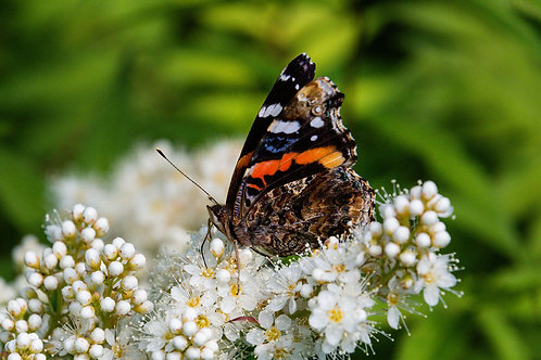 Butterfly and Flower | Red Admiral Butterfly on White Flowers | Butterfly Photo Print | Tammy Riegel Photography