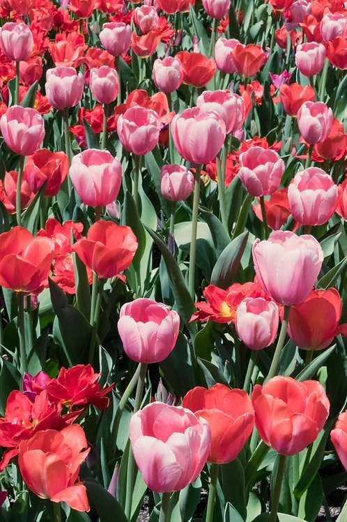 Tulips in Bloom II | Red and Pink Tulips Photo | Floral Photography Print | Tammy Riegel Photography
