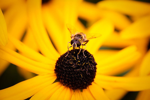Yellow Bee | Bee on a Yellow Flower | Nature Photo Print | Tammy Riegel Photography