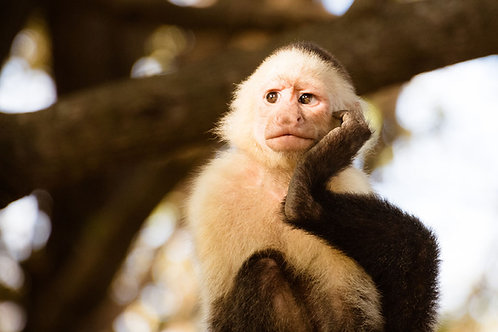 Pensive Monkey | Capuchin Monkey | Monkey Photo Print | Tammy Riegel Photography