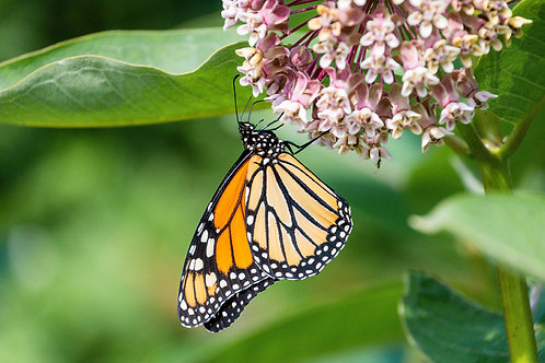 Orange Beauty | Monarch Butterfly on Pink Milkweed | Butterfly Photo Print | Tammy Riegel Photography