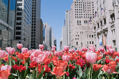 Tulips on Michigan | Tulips Bloom on Michigan Avenue in Chicago | Chicago Photo Print | Tammy Riegel Photography