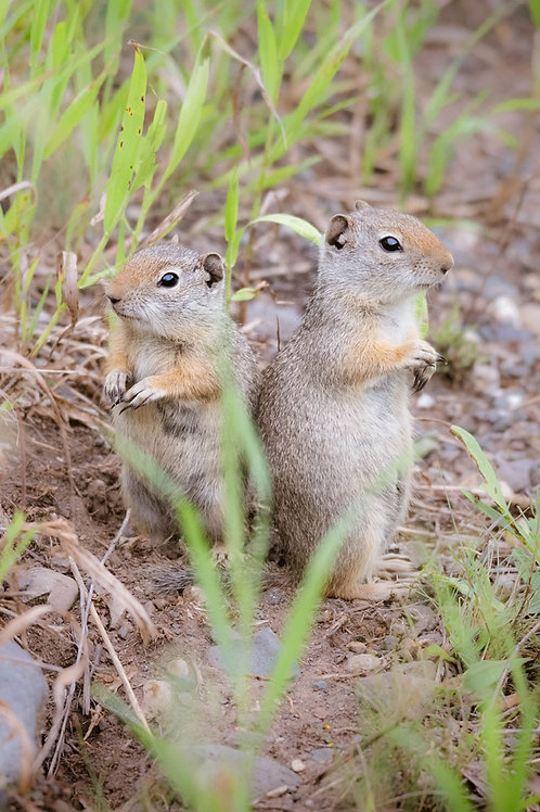 Chip and Dale | Two Uinta Ground Squirrels in Yellowstone National Park | Squirrel Photo Print | Tammy Riegel Photography