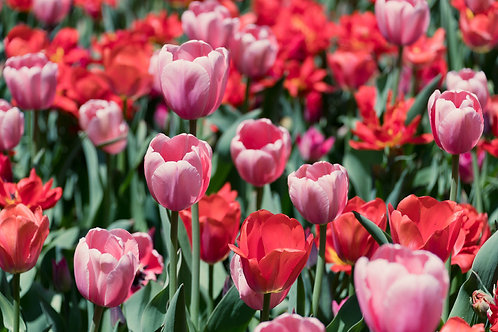 Tulips in Bloom | Pink and Red Tulips Photo | Floral Photo Print | Tammy Riegel Photography