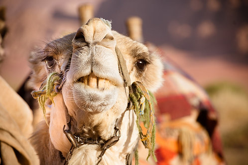 Camel Smiles