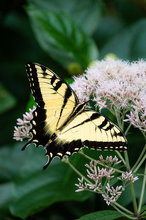 Yellow Beauty II | Eastern Tiger Swallowtail on Pink Milkweed | Butterfly Photo Print | Tammy Riegel Photography