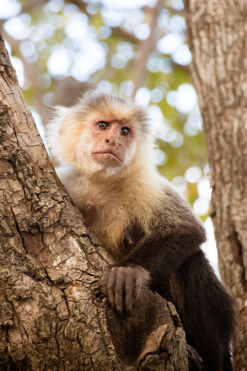 Monkey in a Tree | Wild Capuchin Monkey in a Tree | Monkey Photography Print | Tammy Riegel Photography
