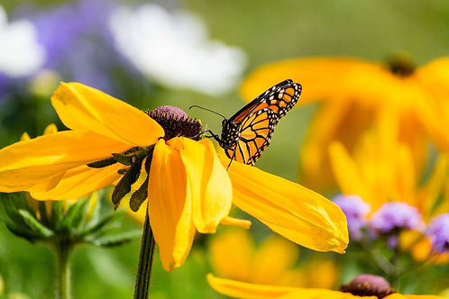 Yellow | Monarch Butterfly on Yellow Flowers | Butterfly Photo Print | Tammy Riegel Photography
