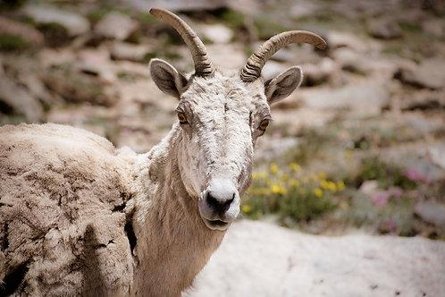 Bighorn Sheep | Big Horn Sheep in the Colorado Rockies | Wildlife Photo Print | Tammy Riegel Photography