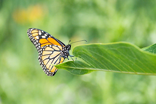 Butterfly on the Green | Monarch Butterfly on a Green Leaf | Monarch Photo Print | Tammy Riegel Photography