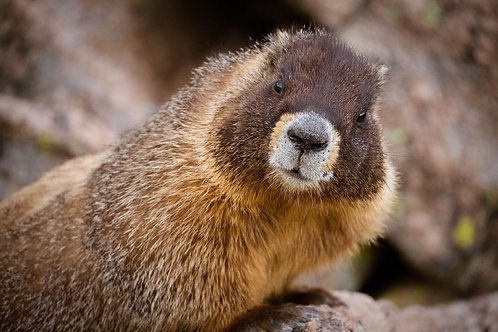 A Marmot Says Cheese | Marmot in Rocky Mountain National Park | Wildlife Photo Print | Tammy Riegel Photography