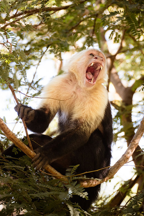 Monkey Talk | Capuchin monkey in a tree | Monkey Photo Print | Tammy Riegel Photography