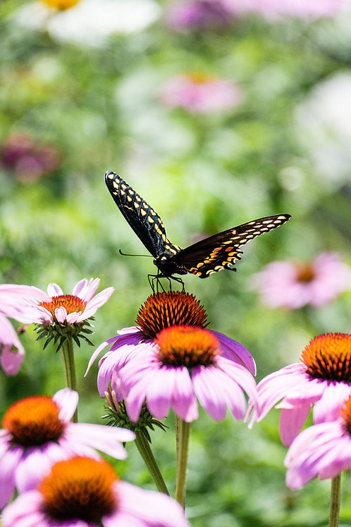 Black Swallowtail | Black Swallowtail Butterfly on Purple Coneflower | Butterfly Photo Print | Tammy Riegel Photography