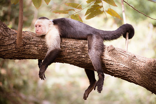 Lazy Monkey | Capuchin monkey lounging in a tree | Monkey photography print | Tammy Riegel Photography