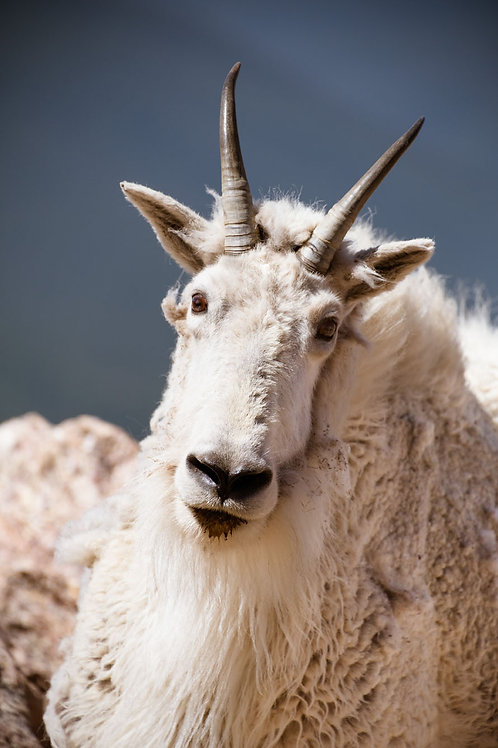 Mountain Goat | Mountain Goat in the Colorado Rockies | Wildlife Photo Print | Tammy Riegel Photography