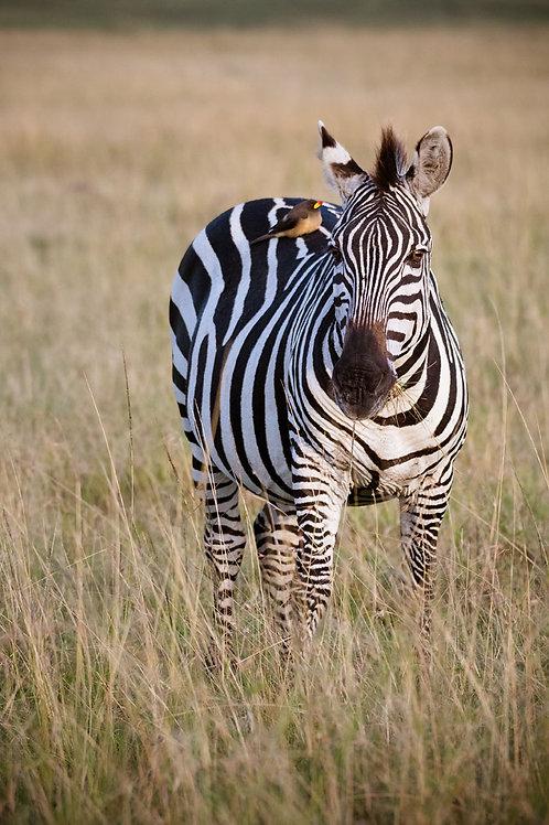 Zebra and the Bird | A Bird on the Back of a Zebra in Kenya | Zebra Photo Print | Tammy Riegel Photography