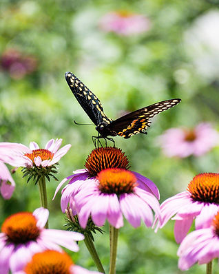 Black Swallowtail Butterfly on Purple Flowers